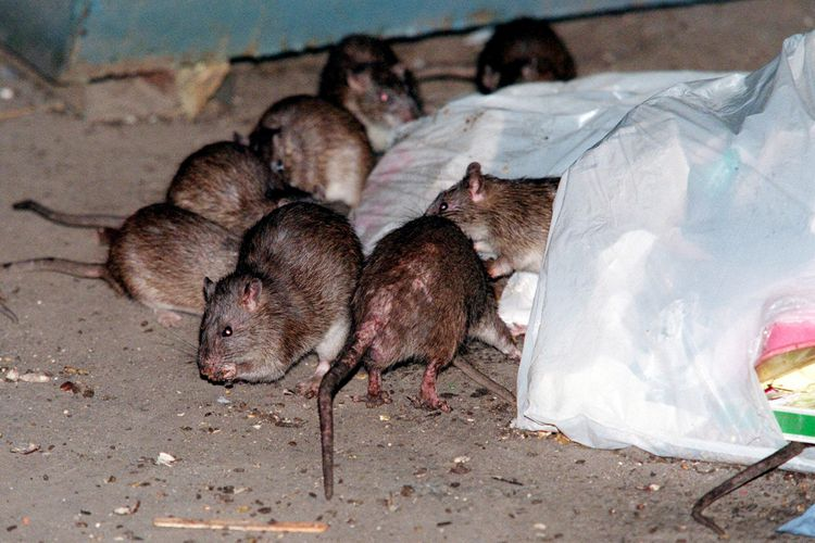 FILE- In this July 7, 2000 file photo, rats swarm around a bag of garbage near a dumpster at the Baruch Houses in New York. Various New York City neighborhoods have been complaining about an onslaught of rats in the wake of Superstorm Sandy. The New York City Council is considering a proposal to create an emergency rat mitigation program for storm-impacted neighborhoods. But some experts arenít so sure that Sandyís supposed rat surge is for real. (AP Photo/Robert Mecea, File) ORG XMIT: NYR402