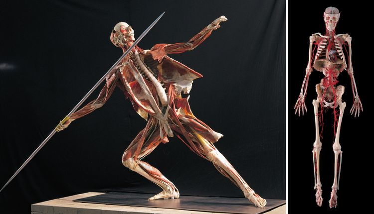 hou_arts_whole_body_plastinate_javelin_thrower_plus_arterial_bone_tn