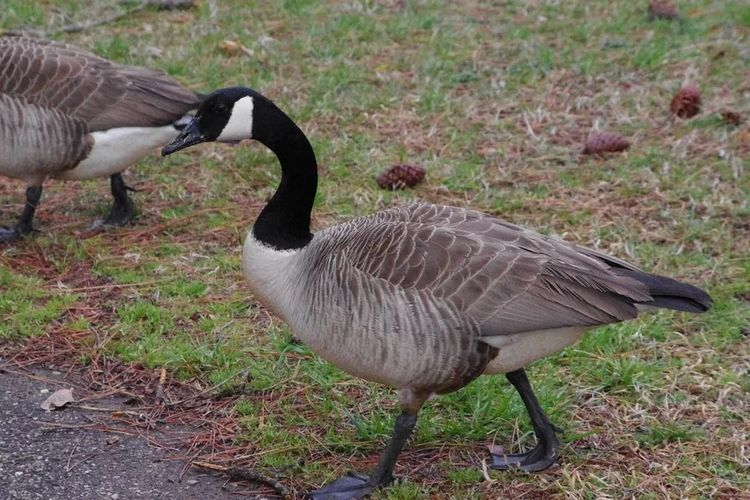 geese2