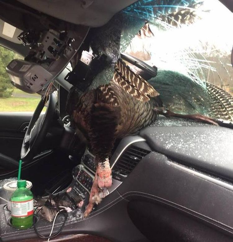 wild-turkey-windshield-new-jersey-2-2017-3-28