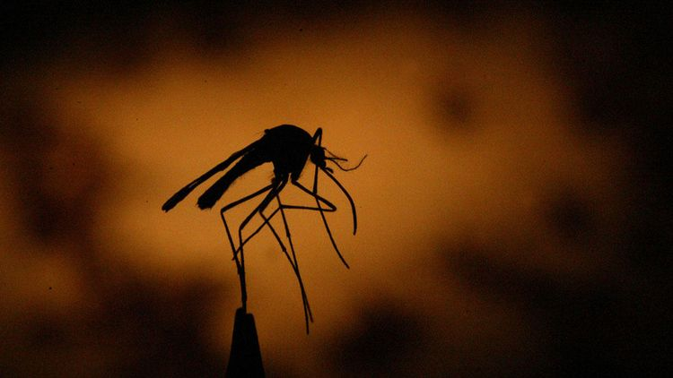 Mosquito-GettyImages-563546355