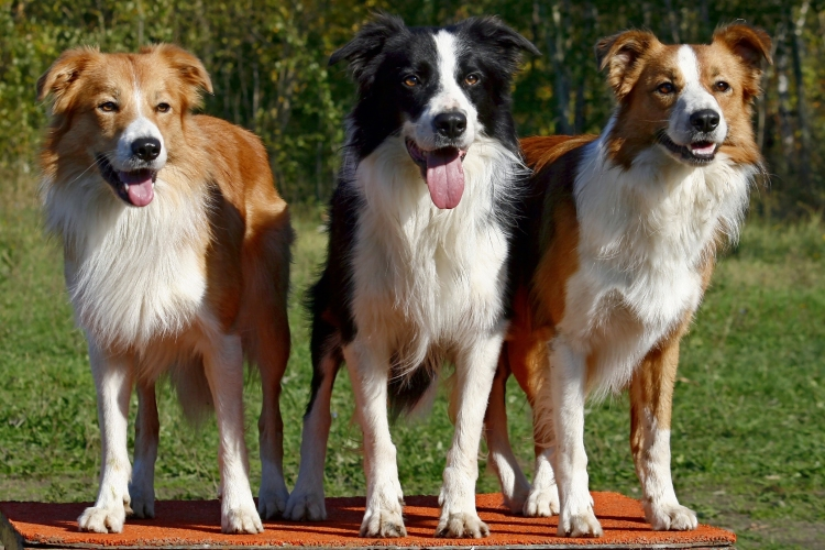 Animals___Dogs_Three_dogs_border_collies_051033_