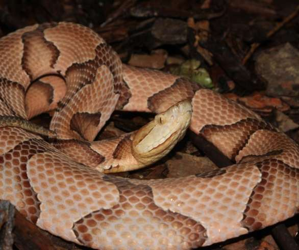 a-very-pink-patterned-copperhead.-Jasper-County-S.C.-Greg-C.-Greer-copy