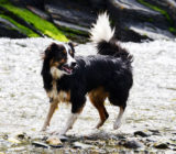 water-dog-animal-canine-collie-pet-mammal-playing-border-collie-vertebrate-sheepdog-dog-breed-tricolour-dog-like-mammal-1198816