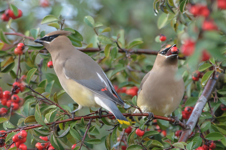 Cedar-Waxwing-full-HD